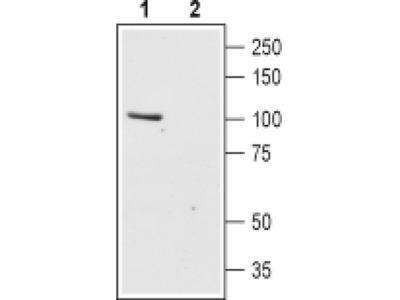 TRPC6 (extracellular) Polyclonal Antibody