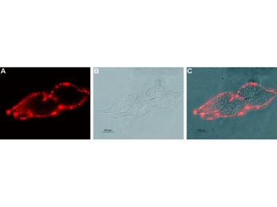 KCNN4 (extracellular) Monoclonal Antibody (6C1)