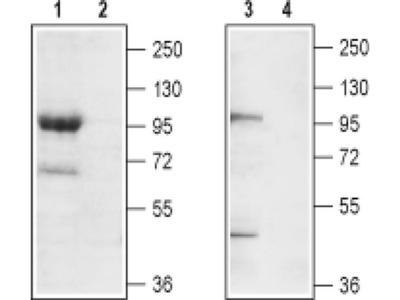 TRPC7 (extracellular) Polyclonal Antibody