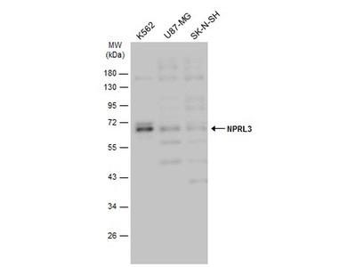 NPRL3 Polyclonal Antibody