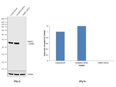 NRBF2 Recombinant Rabbit Monoclonal Antibody (15H7L3)