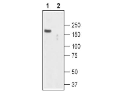 TRPC2 Polyclonal Antibody