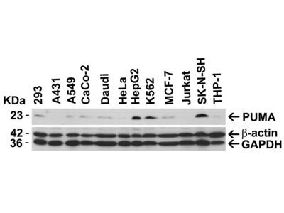 Anti-PUMA antibody