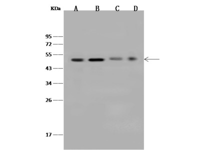 ZNF830 Antibody, Rabbit PAb, Antigen Affinity Purified