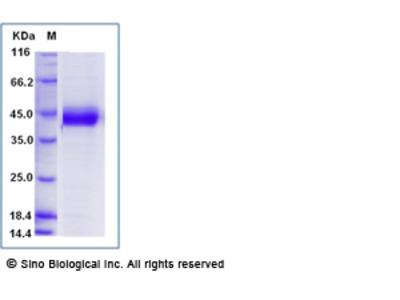 Human MFG-E8 / lactadherin / MFGE8 Protein, Biotinylated