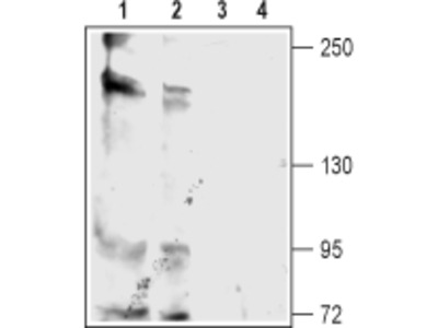 Anti-KCNT2 (Slick) Antibody