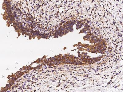 LAPTM4A Antibody, Rabbit PAb, Antigen Affinity Purified