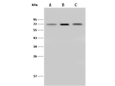 SDHA Antibody, Rabbit PAb, Antigen Affinity Purified