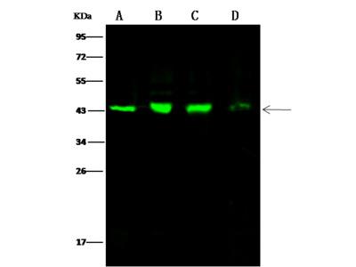 citrate synthase / CS Antibody, Rabbit PAb, Antigen Affinity Purified