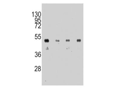 Anti-HA tag antibody [12CA5]