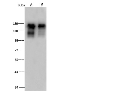 SMARCC1 Antibody, Rabbit PAb, Antigen Affinity Purified