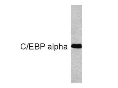 Anti-C/EBP alpha antibody [15C8]