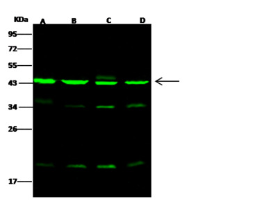 ACTR3/Actin-related protein 3 Antibody, Rabbit PAb, Antigen Affinity Purified