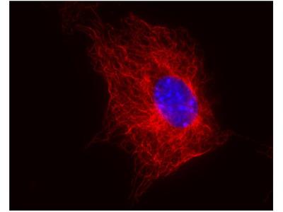 Anti-beta Tubulin antibody [TU-06]
