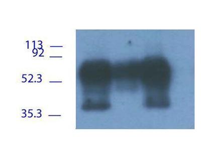Anti-PAG antibody