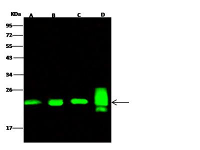 Peroxiredoxin 2/PRDX2 Antibody, Rabbit PAb, Antigen Affinity Purified
