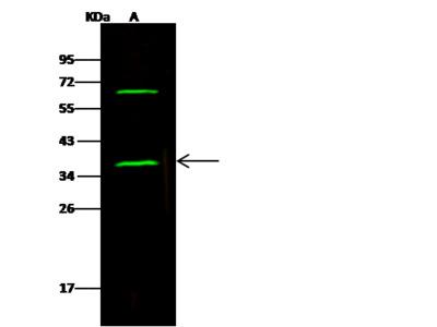 SNAP-alpha Antibody, Rabbit PAb, Antigen Affinity Purified