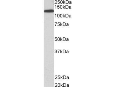 Anti-KIF5B antibody, C-term
