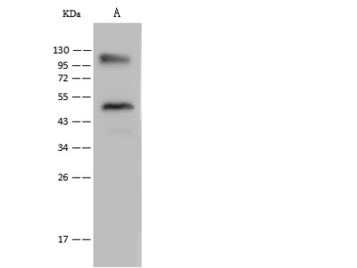 LRRC8D Antibody, Rabbit PAb, Antigen Affinity Purified