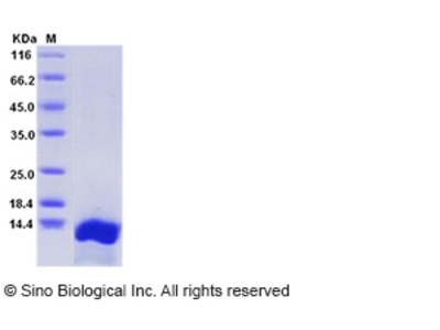 Rat CXCL10 / Crg-2 Protein (His Tag)