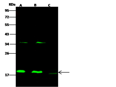cofilin 2/CFL2 Antibody, Rabbit PAb, Antigen Affinity Purified