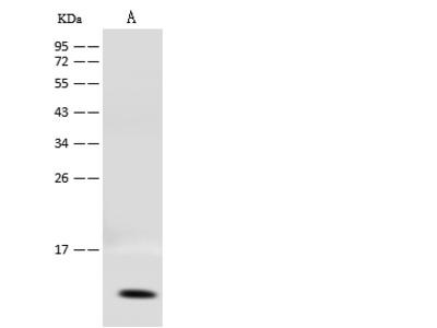 COX17 Antibody, Rabbit PAb, Antigen Affinity Purified