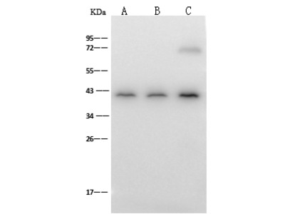 H2AFY Antibody, Rabbit PAb, Antigen Affinity Purified