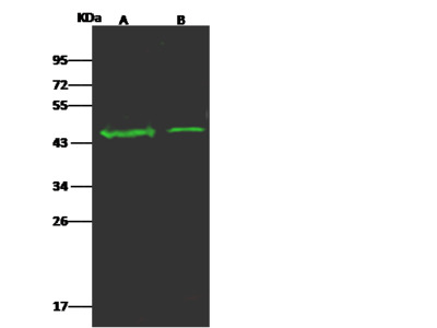 OR5D13 Antibody, Rabbit PAb, Antigen Affinity Purified
