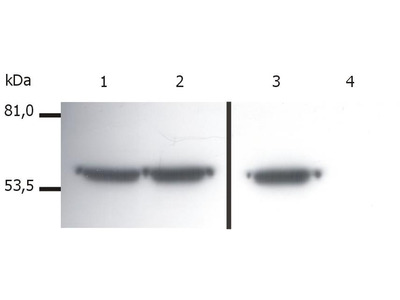 Anti-Vimentin antibody [VI-01]