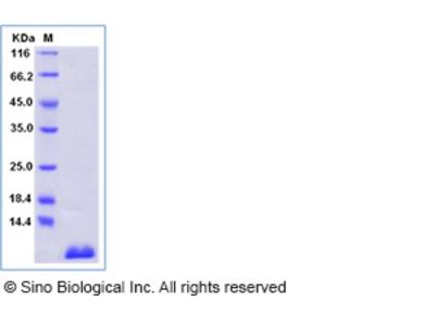 Human S100P / S100E Protein, Biotinylated