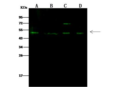 RING1 Antibody, Rabbit PAb, Antigen Affinity Purified