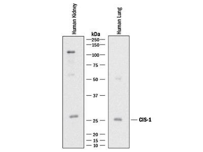 CIS-1 Antibody
