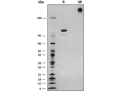 Semaphorin 3F Fc Chimera Protein