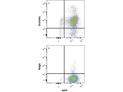 Human Ferroportin / SLC40A1 Antibody