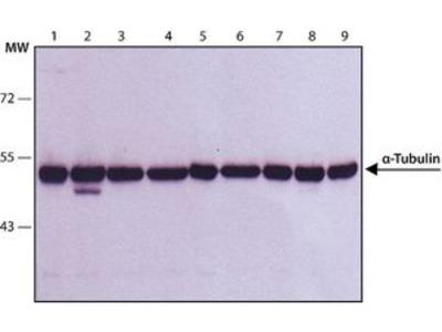 Anti-alpha Tubulin antibody [B-5-1-2]