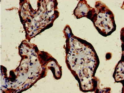CSH2 / Placental Lactogen Antibody