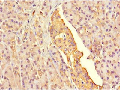 G6PC2 Antibody