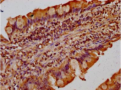 TMF1 / TMF-1 Antibody