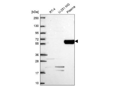 Collagen IX alpha 2 Antibody