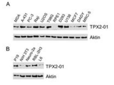 TPX2 Antibody (TPX2-01)
