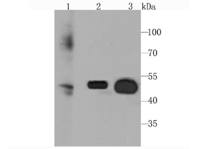 Rabbit Monoclonal Glut3 Antibody