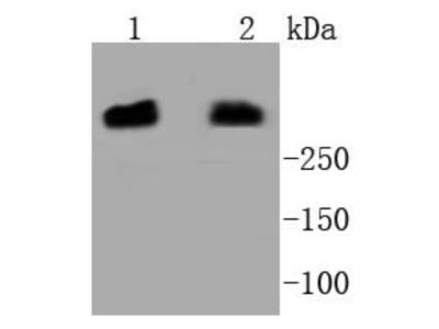 DNA-PKcs Antibody (SC57-08)