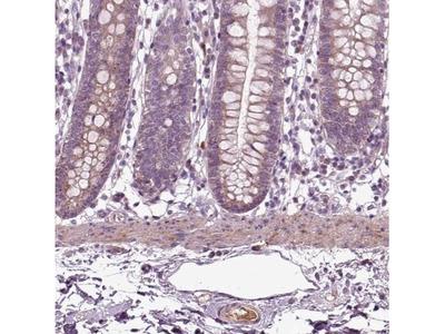 F-Spondin / SPON1 Antibody
