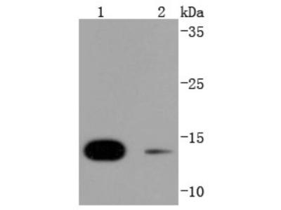 Rabbit Monoclonal SUMO4 Antibody