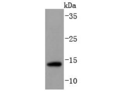 SUMO3 Antibody (JJ087-04)