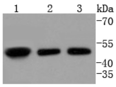 E2F-2 Antibody (SN201-04)