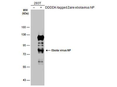 Anti-Ebola virus NP antibody
