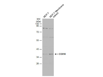 Anti-COX18 antibody