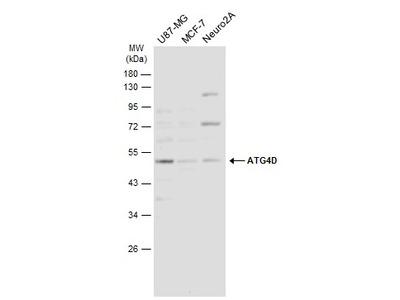 Anti-ATG4D antibody