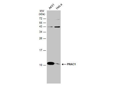 Anti-PRAC1 antibody